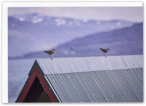 Redshanks on Roof, Vigur, Iceland