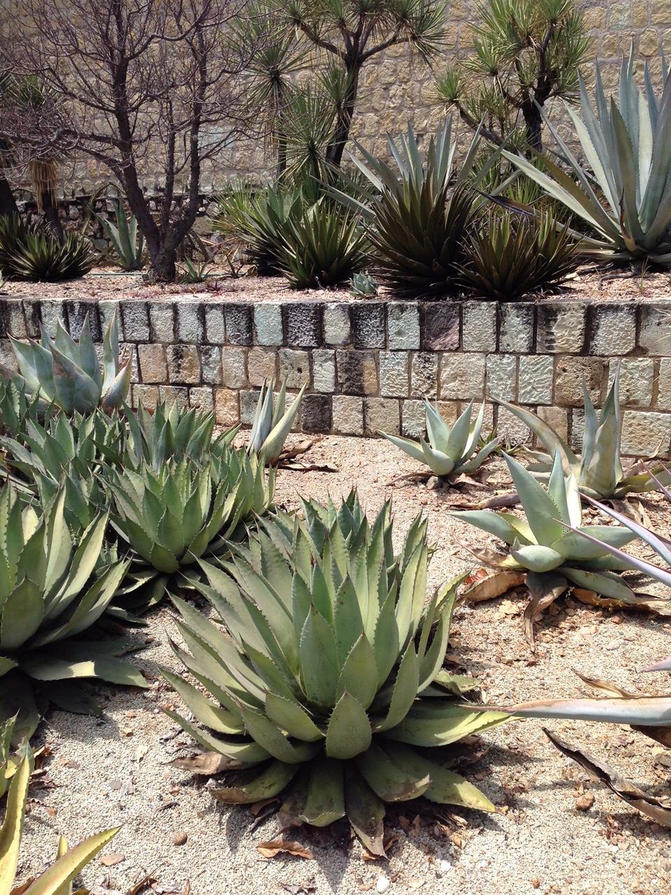 Agave in Oaxaca