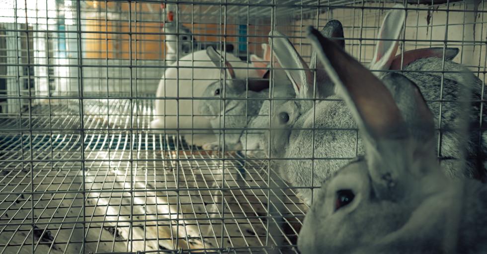 Кролик Анисимово
