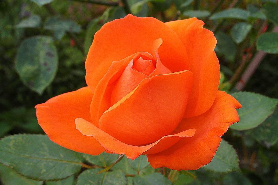 orange-rose.jpg