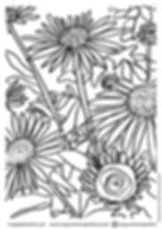 ECHINACEA colouring in sheet.jpg