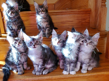 Finding a Maine Coon Breeder - Short Version
