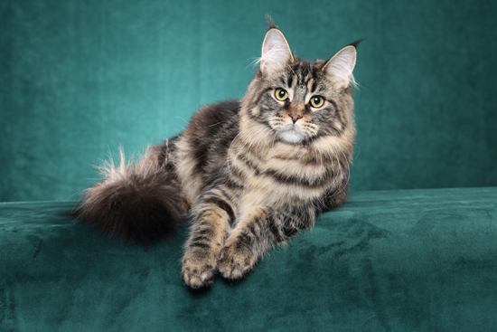 Maine Coon Kittens | Dracoonfly | United States