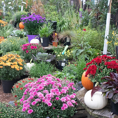 garden center fall aster mum hydrangea cabbage pumpkin white close.jpg
