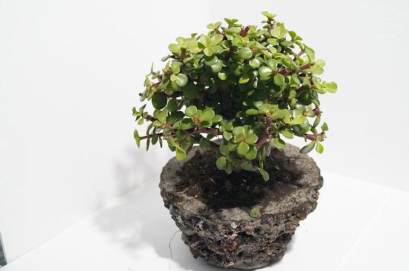 Bonsái de árbol de  jade