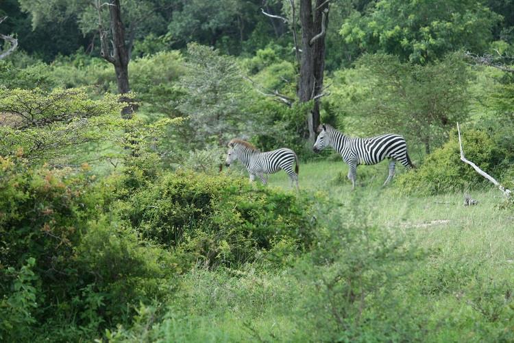 Zèbres dans la réserve naturelle de Selous en Tanzanie