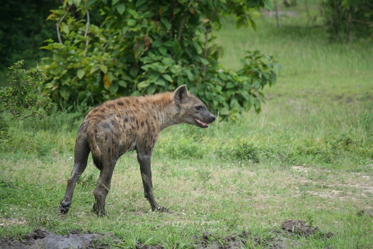 Hyène Réserve de Selous Tanzanie