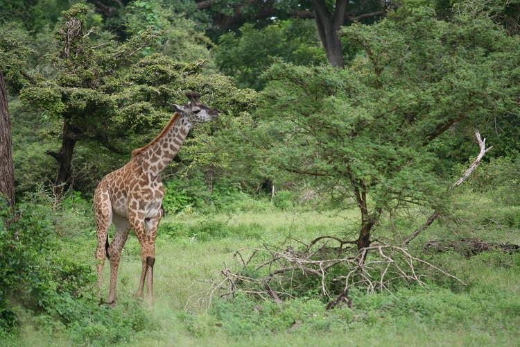 Girafe dans la réserve de Selous en Tanzanie