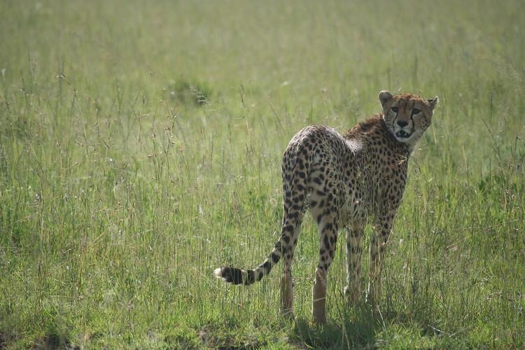 safari au serengeti en tanzanie guépard