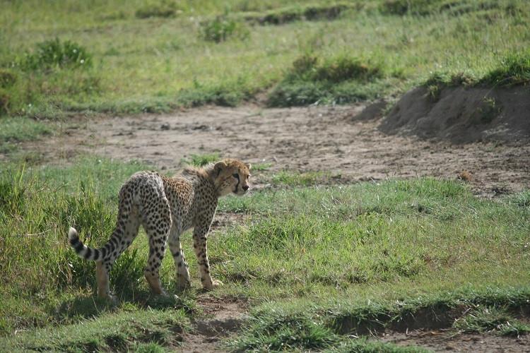 safari dans le parc du serengenti en tanzanie guépard