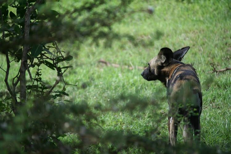 Lycaon Réserve Selous Tanzanie