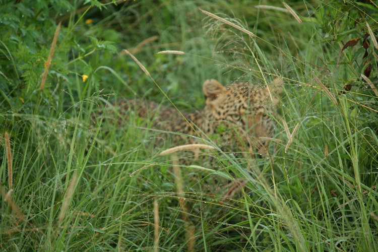 léopard safari au serengeti en tanzanie
