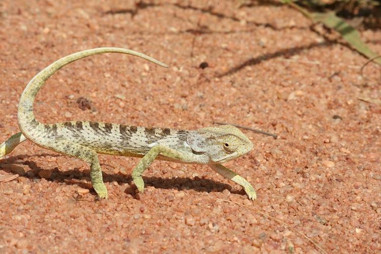Caméléon Réserve Selous Tanzanie