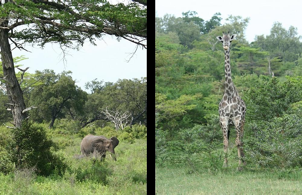 Girafe et éléphant dans la réserve de Selous en Tanzanie