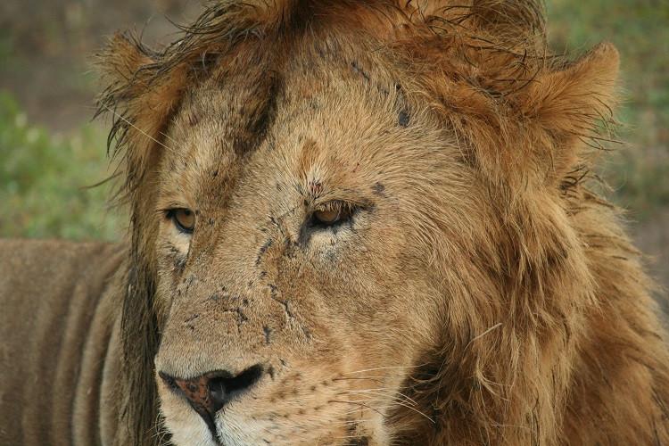 lion safari ngorongoro tanzanie
