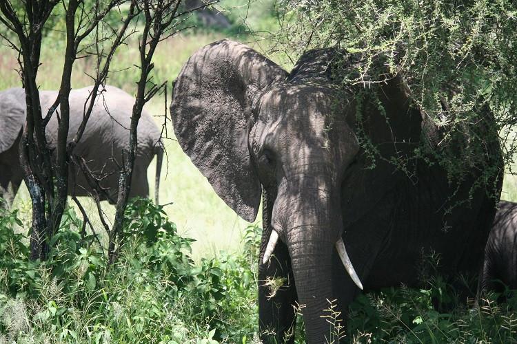 safari tarangire tanzanie éléphant