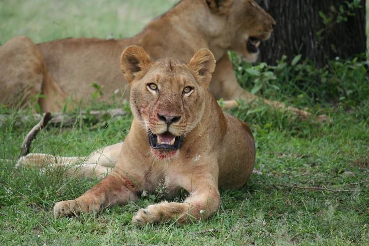 Lionne dans la réserve de Selous en Tanzanie