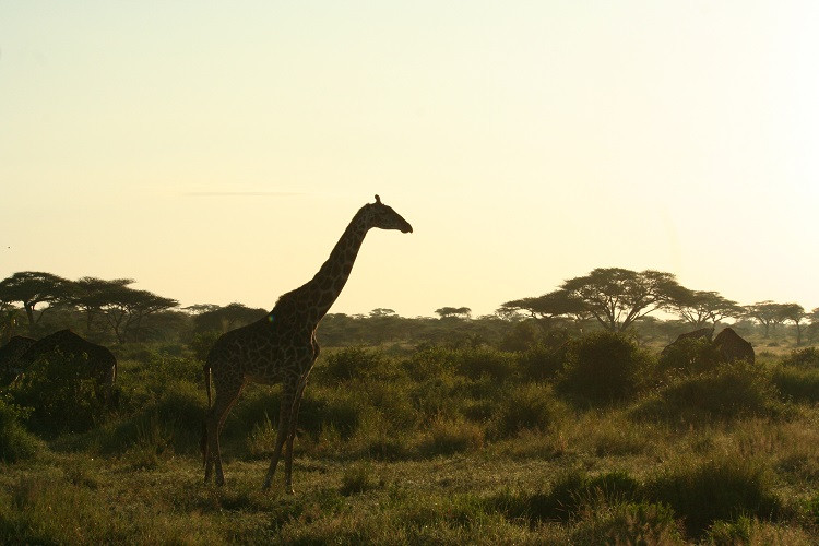 safari serengeti tanzanie girafe