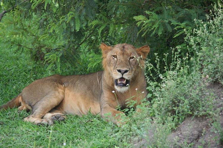 Lion dans la réserve de Selous en Tanzanie