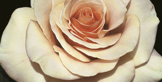 Marilyn Monroe Rose Bare Root *local pickup only