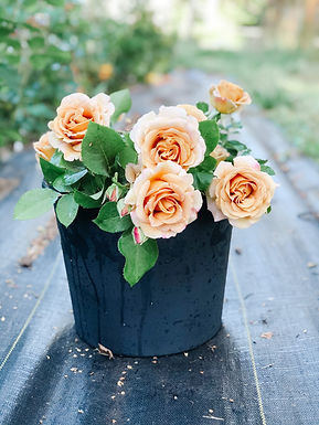 Honey Dijion Rose Bare Root *local pickup only*