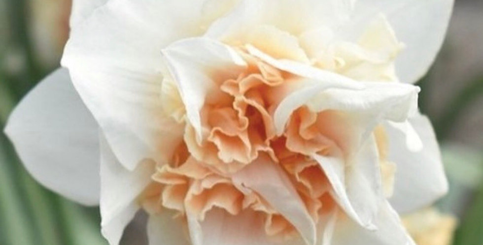 Daffodil Replete Narcissus