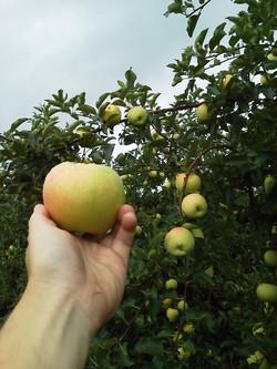 NY Apple Picking