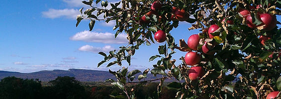 red apples on tree mohonk mountain hudso