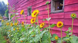 scenery sunflowers