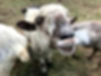 happy sheep petting zoo hudson valley ny