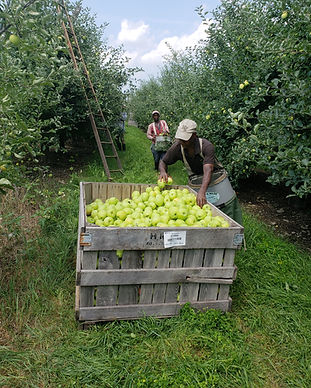 man fills apple bin green apples hudson