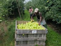 When Do We Start Picking Apples?