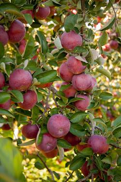 scenery apples