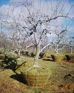 mature apple tree sales hudson valley ny