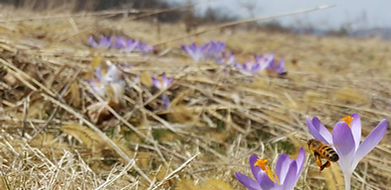 flower crocus bee hay ny hudson valley f