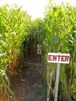 Activities Corn Maze