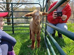 In the pen lamb.jpg