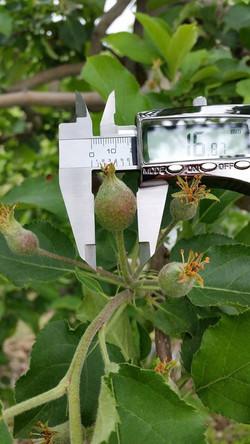apples measuring