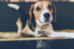 animal-background-beagle-879788.jpg