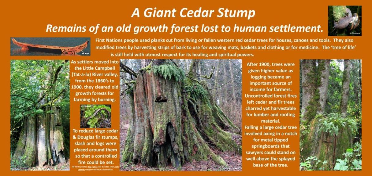 Cedar Stump & Human use mc.jpg
