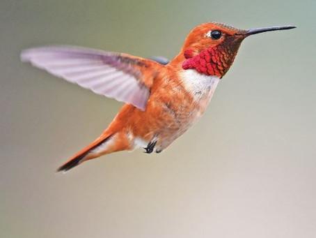 Rufous hummingbird - imperiled avian pollinator