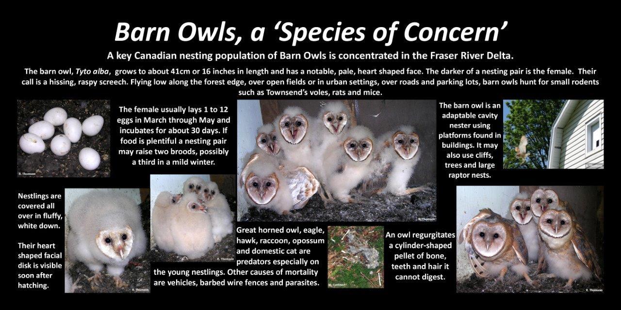 Barn Owls mc.jpg