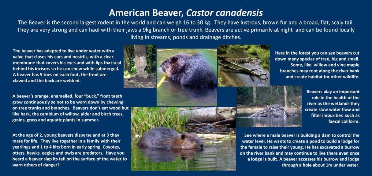 Beaver mc.jpg