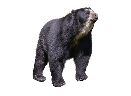 oso frontino.png