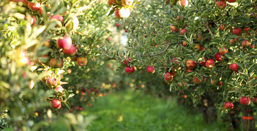 picture of a Ripe Apples in Orchard read