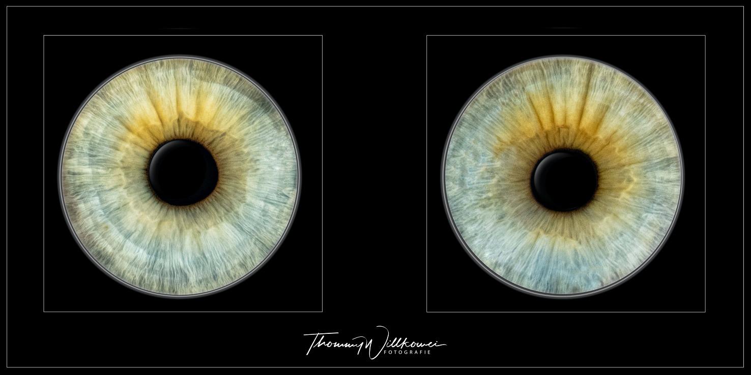 IRIS Portrait Vorlage Augenpaar4
