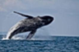 Hump-Back-Whale-Breach.jpg