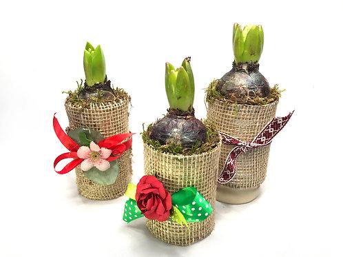 Hiacintes sīpols dekorētā traukā