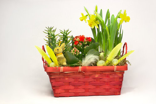 Narcises sukulenti pītā podiņā