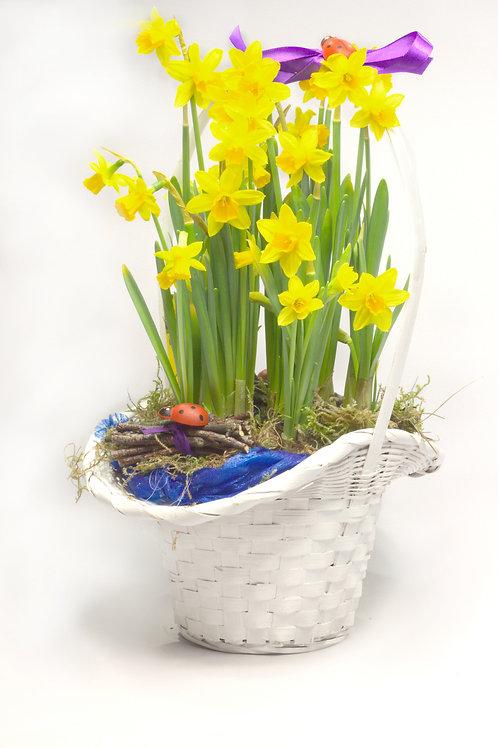 Narcises groziņā dekorētas